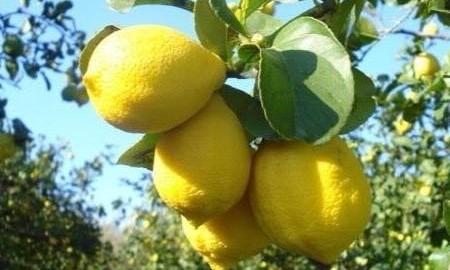 Limone di Siracusa Igp, frutti